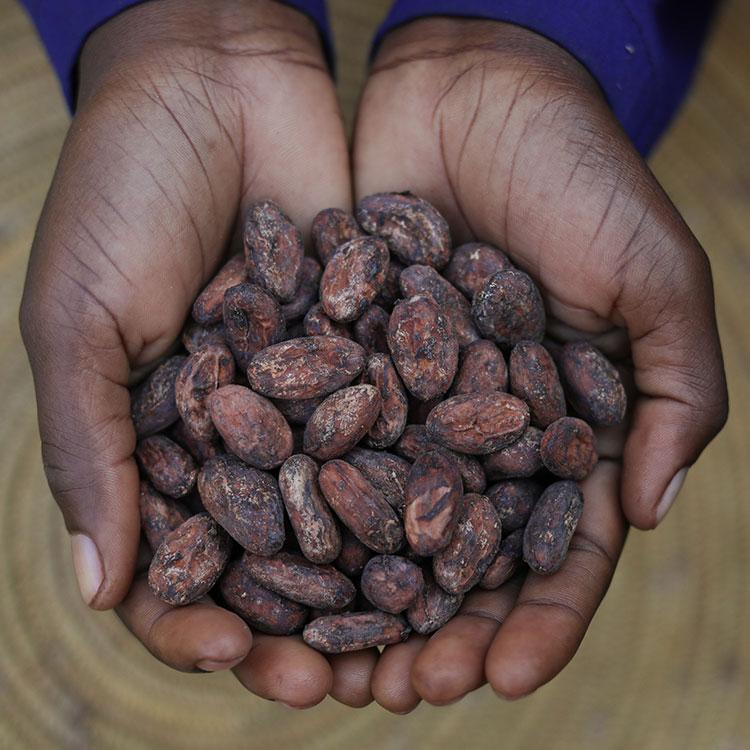 UGANDA COCOA BEANS